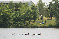 NWA Democrat-Gazette/CHARLIE KAIJO A flock of Geese swim, Thursday, June 7, 2018 at Lake Bentonville north of the Bentonville Airport in Bentonville.