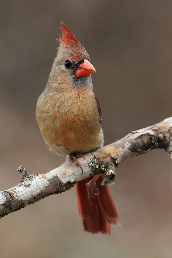 This female Cardinal has a broken leg, but her spirit is &quot;unbroken&quot;. Hope she makes it..<br /> Title inspired by Jon Anderson of Yes.