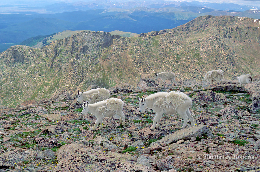 A herd of mountain goats (Oreamnos Americanus) make its way across rocky terrain near the summit of Mount Evans, Colorado. The goats are shedding their winter fur.