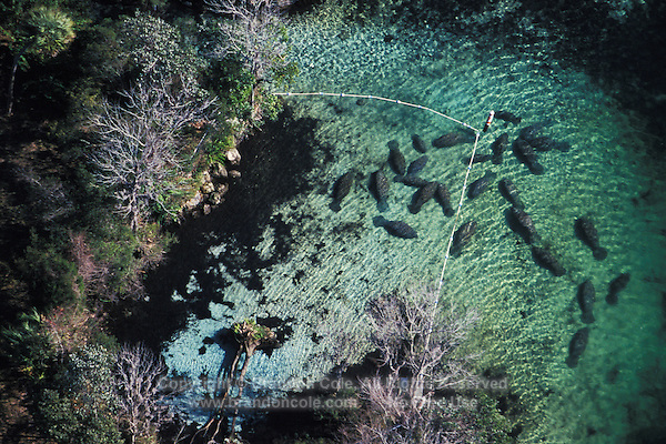 lr181. Florida Manatees (Trichechus manatus latirostris) as seen from the air. Notice how they are inside ropes marking the Three Sisters Manatee Sanctuary. This is a subspecies of the West Indian Manatee. Crystal River, Florida, USA..Photo Copyright © Brandon Cole. All rights reserved worldwide.  www.brandoncole.com..This photo is NOT free. It is NOT in the public domain. This photo is a Copyrighted Work, registered with the US Copyright Office. .Rights to reproduction of photograph granted only upon payment in full of agreed upon licensing fee. Any use of this photo prior to such payment is an infringement of copyright and punishable by fines up to  $150,000 USD...Brandon Cole.MARINE PHOTOGRAPHY.http://www.brandoncole.com.email: brandoncole@msn.com.4917 N. Boeing Rd..Spokane Valley, WA  99206  USA.tel: 509-535-3489