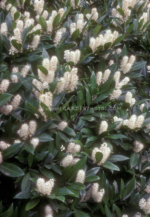 Spring flowering shrub English Laurel Prunus laurocerasus in flower with pinkish white blooms