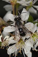 Graue Sandbiene, Düstere Sandbiene, Männchen, Blütenbesuch auf Schlehe, Andrena cineraria, Ashy Mining-bee, mining bee