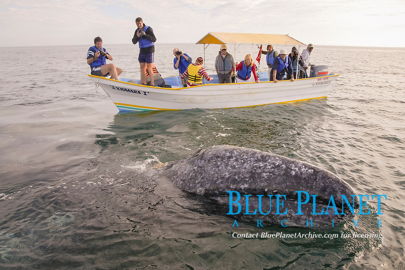 Gray whale (eschrichtius robustus). A gray whale surfaces between by astonished tourists. Gulf of California., Baja California, Mexico, Pacific Ocean