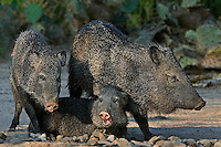 650520128a three wild javelinas dicolytes tajacu group together at a pond in the rio grande valley of south texas