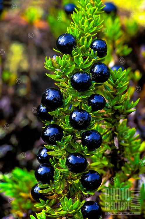 Native kukai nene plant with berries