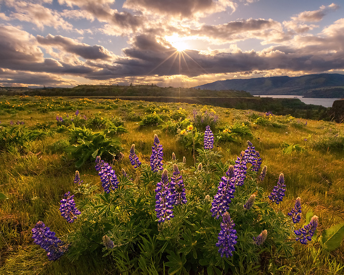 Wild lupines backlit by the setting sun in Rowena.