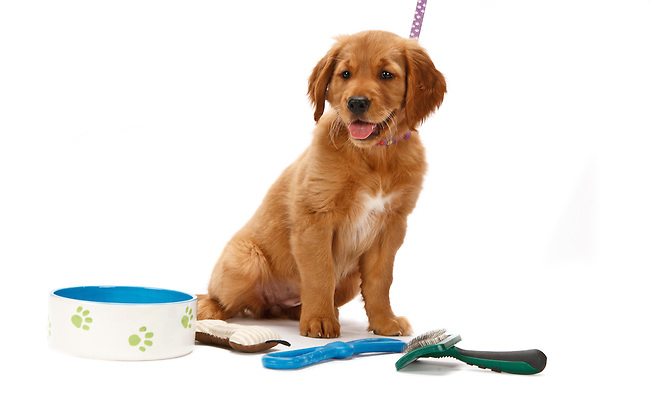 Golden Retriever puppy mouth open with dog bowl, toys and brush copy space
