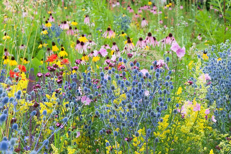 Merton Borders, Oxford Botanic Garden, mid July. Species include: Eryngium planum 'Blaukappe', Stipa gigantea, Lady's bedstraw (Galium verum), Hollyhock mallow (Malva alcea 'Fastigiata'), Echinacea pallida, Echinacea paradoxa.