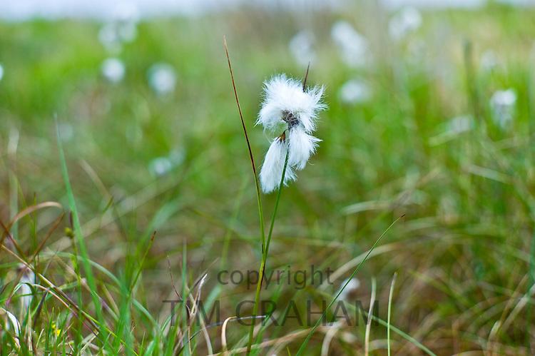 Bog cotton, cottongrass Eriophorum Angustifolium, at Mountrivers peat bog, County Clare, West of Ireland