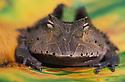 Amazonian horned frog (Ceratophrys cornuta) on leaf, Peru, Amazonia, Tambopata River