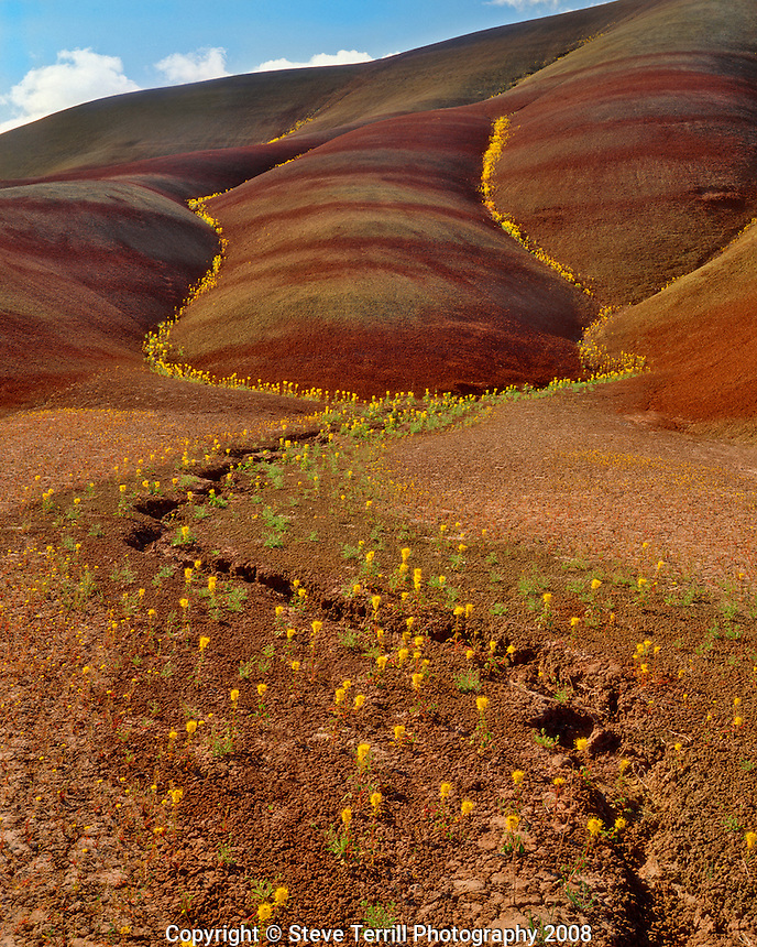 Yellow bee plants in crevices on the Painted Hills in John Day Fossil Beds National Monument, Oregon