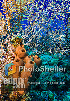 26 July 2015: A grouping of Tubulate Sponges, Agelas tubulata, grows at at Ocean Pointe Reef, on the North Shore of Grand Cayman Island. Located in the British West Indies in the Caribbean, the Cayman Islands are renowned for excellent scuba diving, snorkeling, beaches and banking.  Mandatory Credit: Ed Wolfstein Photo *** RAW (NEF) Image File Available ***