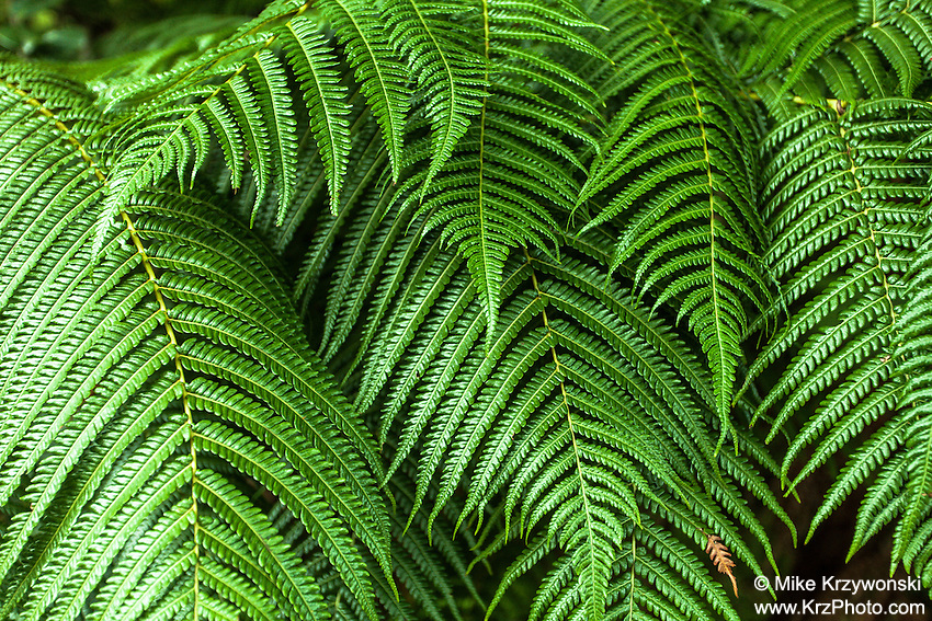 Close-up of fern in Hawaii Volcanoes National Park, Big Island, Hawaii