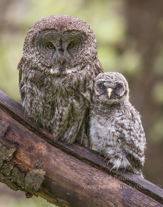 A Great Gray Owl perches next to her fledgling to proted it and keep it warm on its first evening out of the nest. (Idaho)