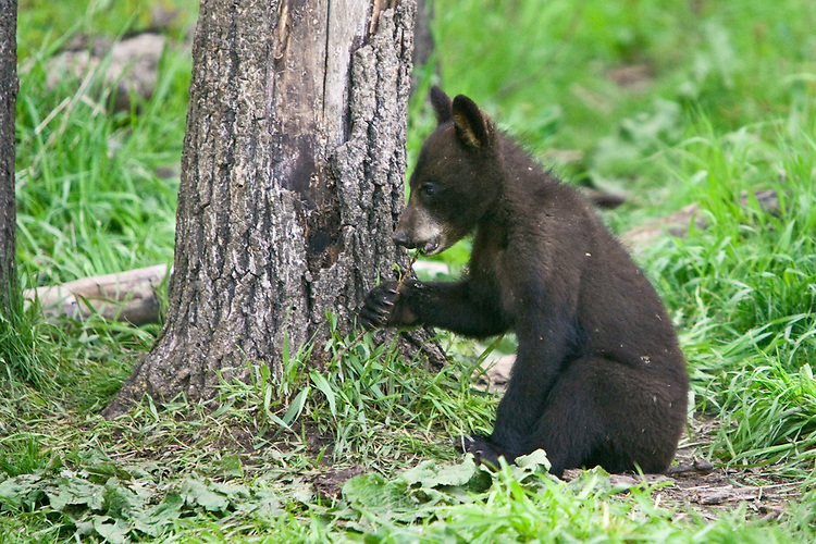 Black Bear cub chewing on a small twig