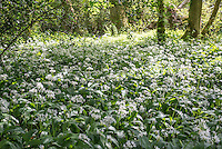 Wild garlic in a wood at Brock Bottoms , Brock Valley, near Claughton, Lancashire.