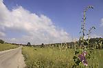 Israel, Shephelah, Alcea setosa flowers by the road to Bet Gemal