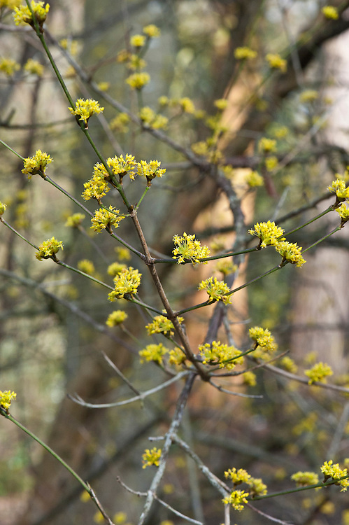 Yellow flowers of Japanese cornel dogwood (Cornus officinalis 'Kintoki'), late February.