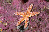 Gemeiner Seestern, Asterias rubens, common starfish, common sea star, starfish, starfishes, sea-star, seastar, sea-stars, Seesterne