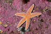Gemeiner Seestern, Asterias rubens, common starfish, common sea star, starfish, starfishes, sea-star, seastar, sea-stars, Seesterne