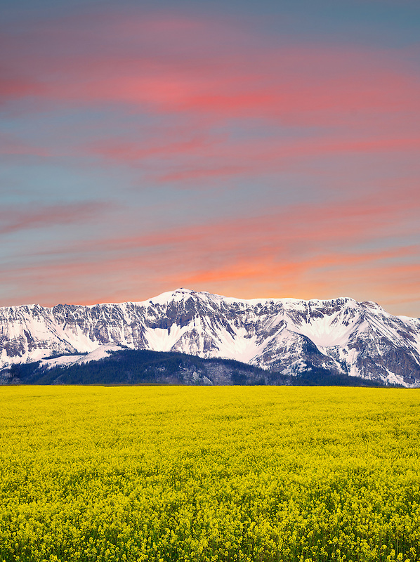 Field of mustard with snow covered Wallowa Mountains. Oregon