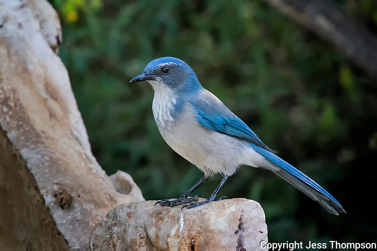 Western Scrub-Jay, South Llano River State Park, Texas