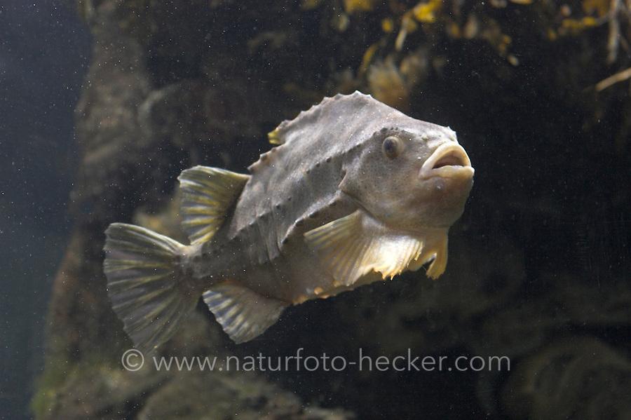 Seehase, See-Hase, Lump, Lumpfisch,  Lump-Fisch, <br /> Cyclopterus lumpus, lumpsucker, lumpfish, hen-fish, henfish, sea hen