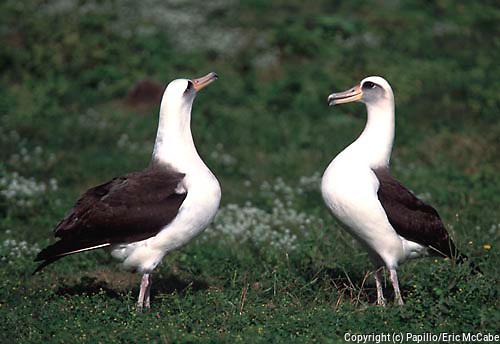 Laysan Albatross (Diomedea immutabilis) pair displaying, Midway Island, Hawaii fly