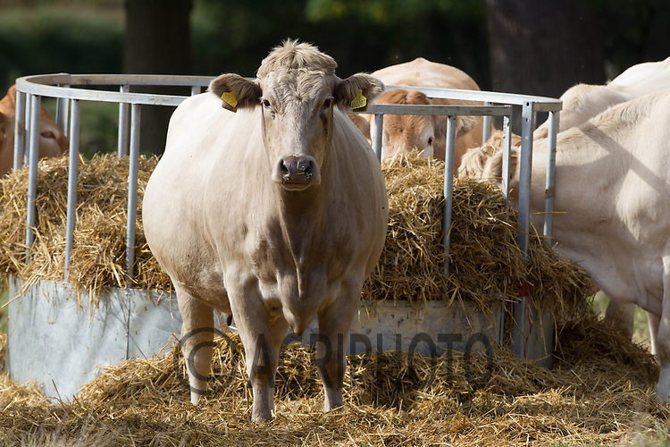 Beef cattle eating straw from a ring feeder in a grass field<br /> Picture Tim Scrivener 07850 303986