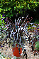 Phormium 'Black Adder' dark foliage perennial in orange container, Sunset Western Garden Collection