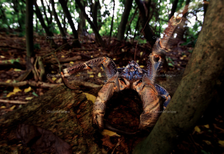 "Coconut crabs are the world's largest land invertebrate.  They are also an easy food source, so they only exist on protected islands like Palmyra.  The largest purchase to date for the Nature Conservancy is the Palmyra an atoll situated about 300 miles north of the equator.  Palmyra has five times as many coral species as the Florida Keys and three times as many as Hawaii.  It is home to the world's largest invertebrate, the rare coconut crab, and a population of red-footed booby birds second only to that of the Galapagos.  It is the last marine wilderness area left in the U.S. tropics and is home to the last remaining stands of Pisonia grandis beach forest in the world.  Palmyra was a US Navy supply base in World War II, the site of a proposed nuclear waste dump, an unsuccessful coconut plantation and of various development schemes.  Palmyra is most famous for the 1974 slaying  of a married couple which became the subject of the best-selling book ""And the Sea Will Tell,"" by Vincent Bugliosi."