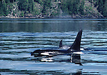 male orca in Johnstone Strait