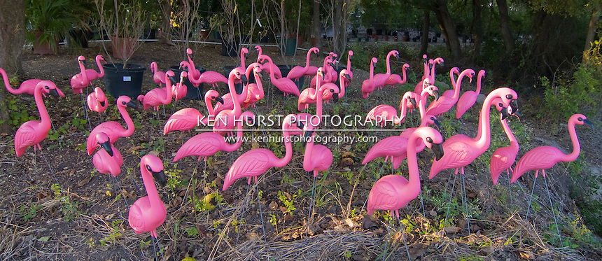 Panoramic view of a flock of very pink plastic flamingos in the forest.