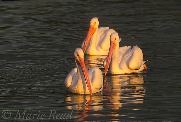 American White Pelicans (Pelecanus erythrorhynchos), three in non-breeding plumage, swimming, Placida, Florida, USA<br /> Slide # B12-371