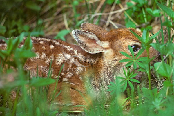 Young Black-tailed Deer fawn hiding while waiting for mother to return.  Pacific Northwest.  June.