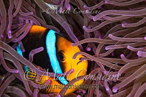 Luxuriously colored tentacles envelop a Clark's Anemone fish. Palau Micronesia. (Photo by Matt Considine - Images of Asia Collection) (Matt Considine)