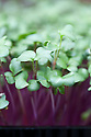 Red-stemmed radish 'Sangria' grown in seed trays as a micro-leaf salad veg.