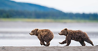 These tiny spring Brown Bear cubs went at each other pretty hard. Small but intense, they were clearly play-fighting but dominance was at stake.  The cubs were both female and evenly matched.  Here the intensity of the fight was belied by the playfulness of the chase.  They both almost seem to be smiling.