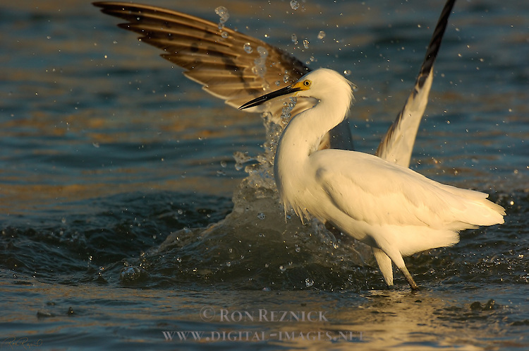 Snowy Egret Losing Prey at Sunrise Sanibel Island Florida