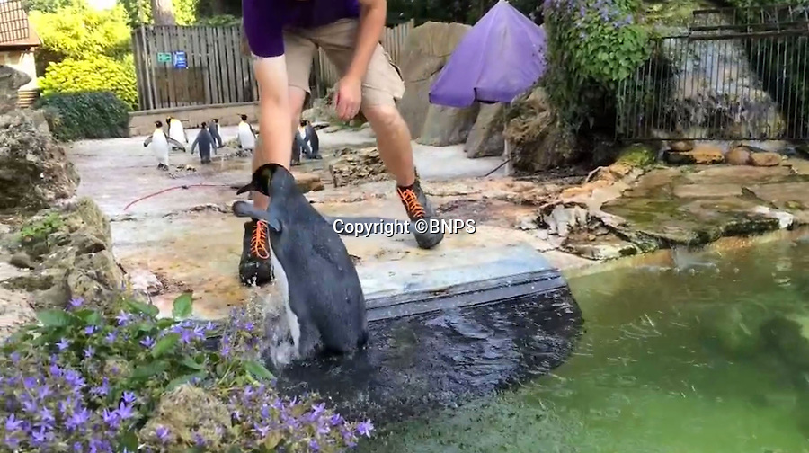 BNPS.co.uk (01202 558833)<br /> Pic: PhilYeomans/BNPS<br /> <br /> 'Im a penguin, get me out of here...'<br /> <br /> Charlotte the Penguin finally learns to swim.<br /> <br /> Keeper Alistair Keen at the Birdland sanctuary in the Cotswold's has finally managed to teach aquaphobic baby penguin Charlotte how to swim.<br /> <br /> The 10 month old hand reared chick had never dipped her toes in the attractions large pool, and Alistair's initial attempts to introduce her to the watery enviroment resulted in her splashing around in panic and racing to the side as fast as she could.<br /> <br /> But now after gentle cajoling the flightless bird has finally realised she is a penguin and now Alistair's main problem is how to get her out of the pool.
