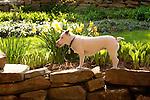 Emma, jack russel terrier.