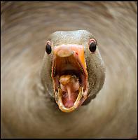 Stroppy goose bares its teeth.