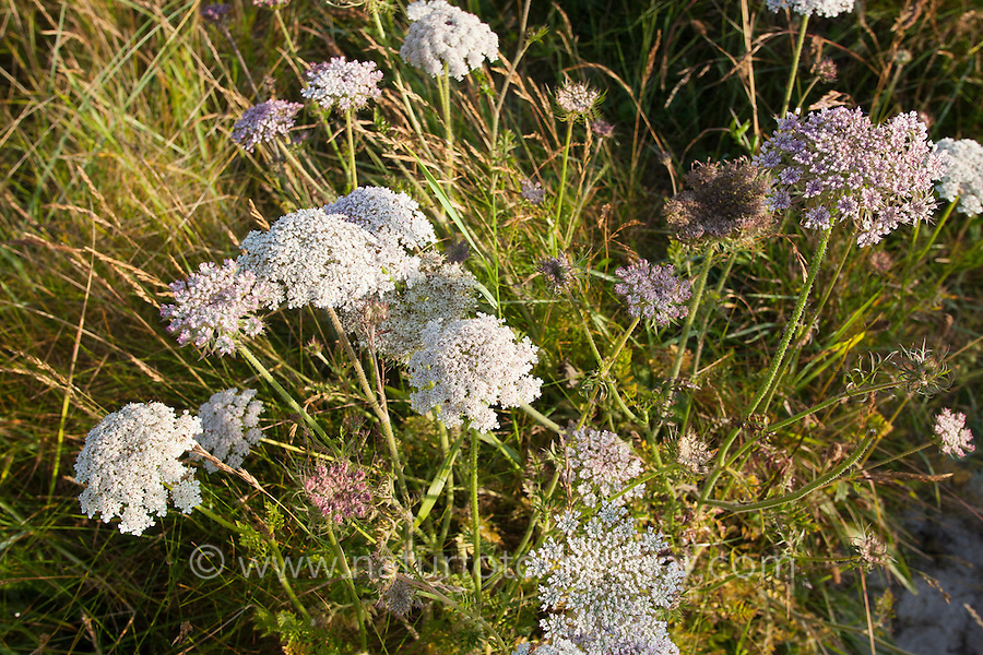 Wilde Möhre, Meer-Karotte, Karotte, Daucus carota subspecies gummifer, Wild carrot, Sea Carrot, bird's nest, bishop's lace, Queen Anne's lace