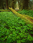 Olympic National Park, WA             <br /> Vanilla leaf (Achlys triphylla) with moss covered logs covers the forest floor of the Hoh rainforest near the Hoh River