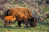 Bison cow and calf with Yellowheaded Blackbird. Yellowstone National Park, Wyoming. June.