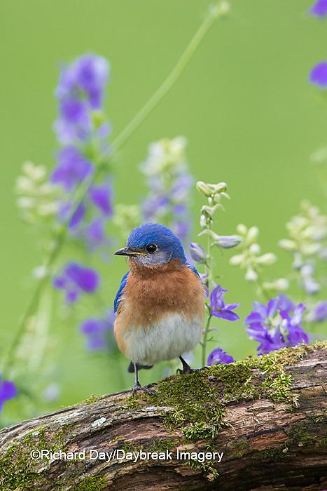 01377-17913 Eastern Bluebird (Sialia sialis) male in flower garden, Marion Co., IL