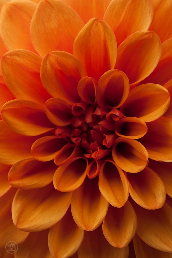 A close-up of an orange dahlia flower reveals a multitude of colours.
