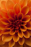 A close-up of an orange dahlia flower reveals a multitude of colours.