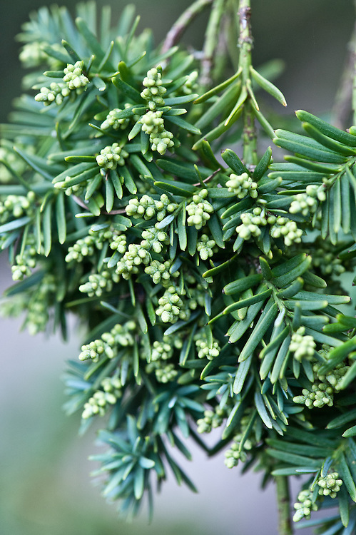 Male flower buds or cones of Chilean plum yew (Prumnopitys andina), mid March.