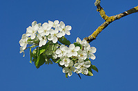 Pear tree (Pyrus pyraster), blossom, Switzerland
